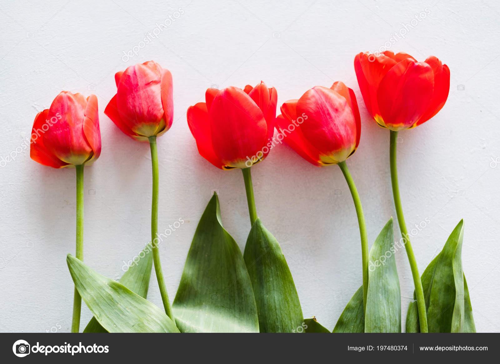cdb516033930 Tulipanes rojos blanco fila de flores de primavera de fondo — Fotos de Stock
