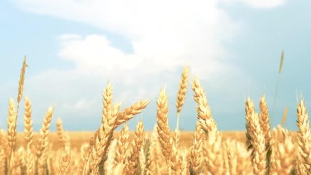 vidéki táj sárga mező Rozs búza kék ég