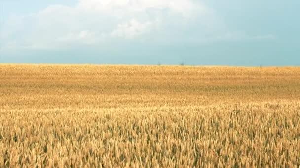 crop harvest yellow field wheat rye moving wind