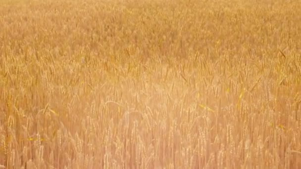 farming industry golden rye wheat field landscape