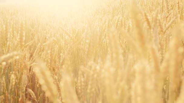 gabona betakarítás napsütötte területén búza rozs flare nyár