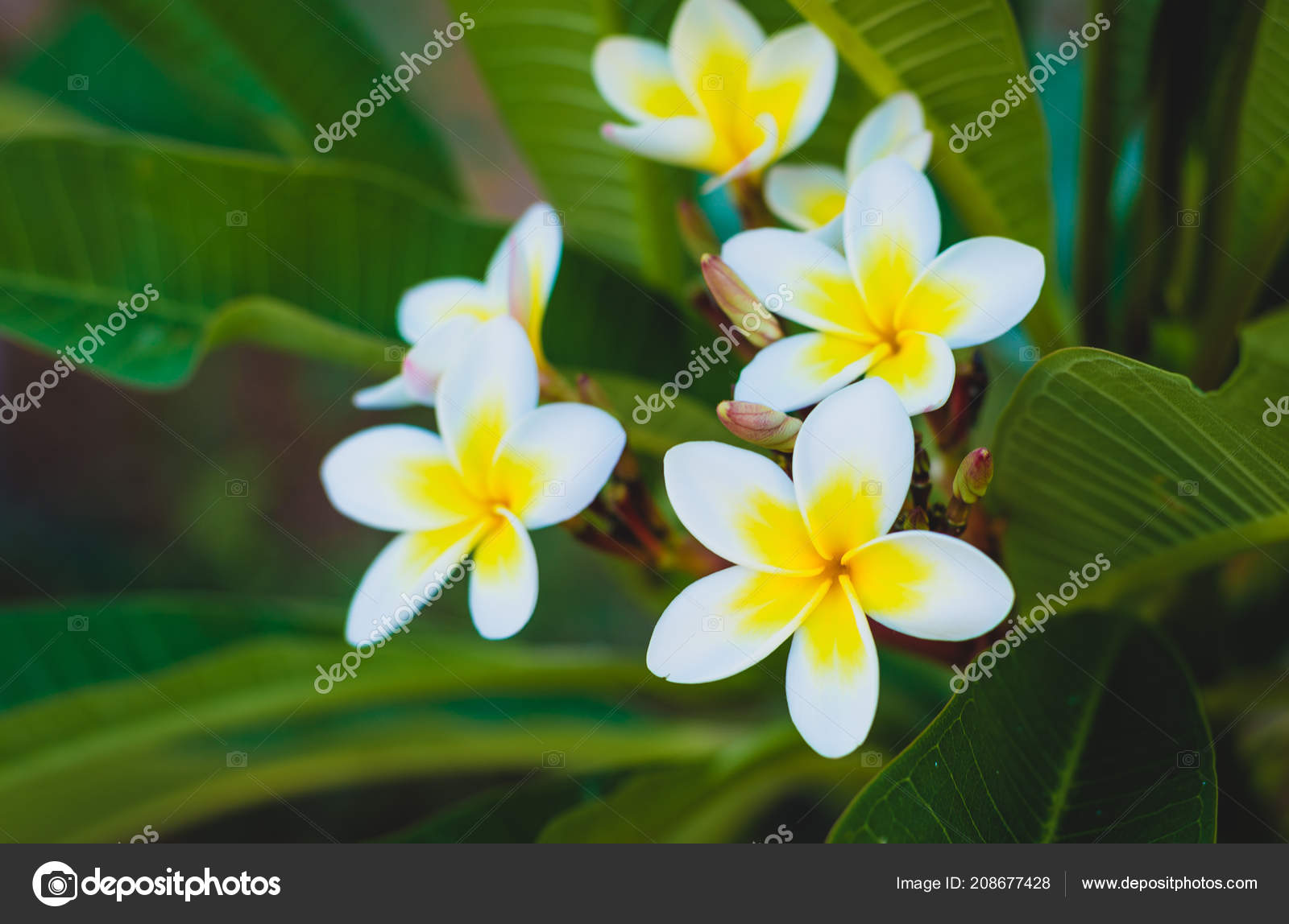 Blanche Fleur Tropicale Fleur Plumeria Qui Fleurit Sur Arbre Fleur