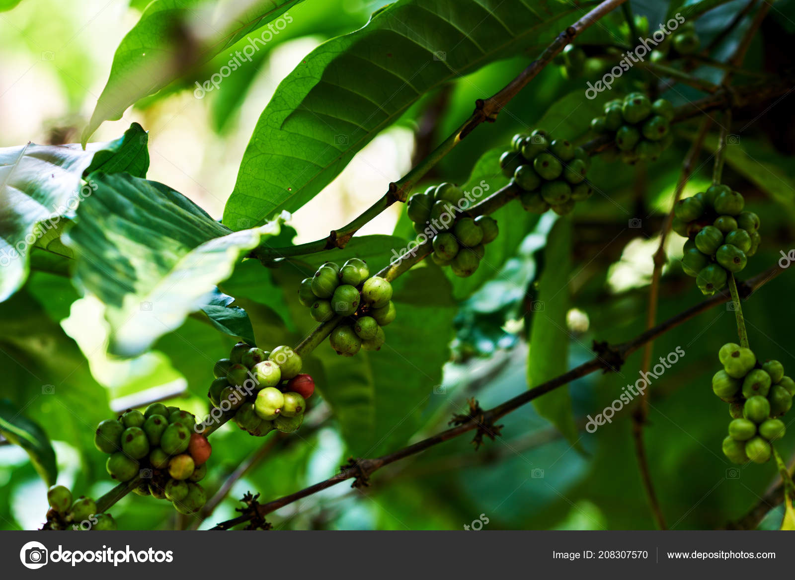Green Coffee Beans Tree Coffee Plant Fruit Coffee Farm Agriculture