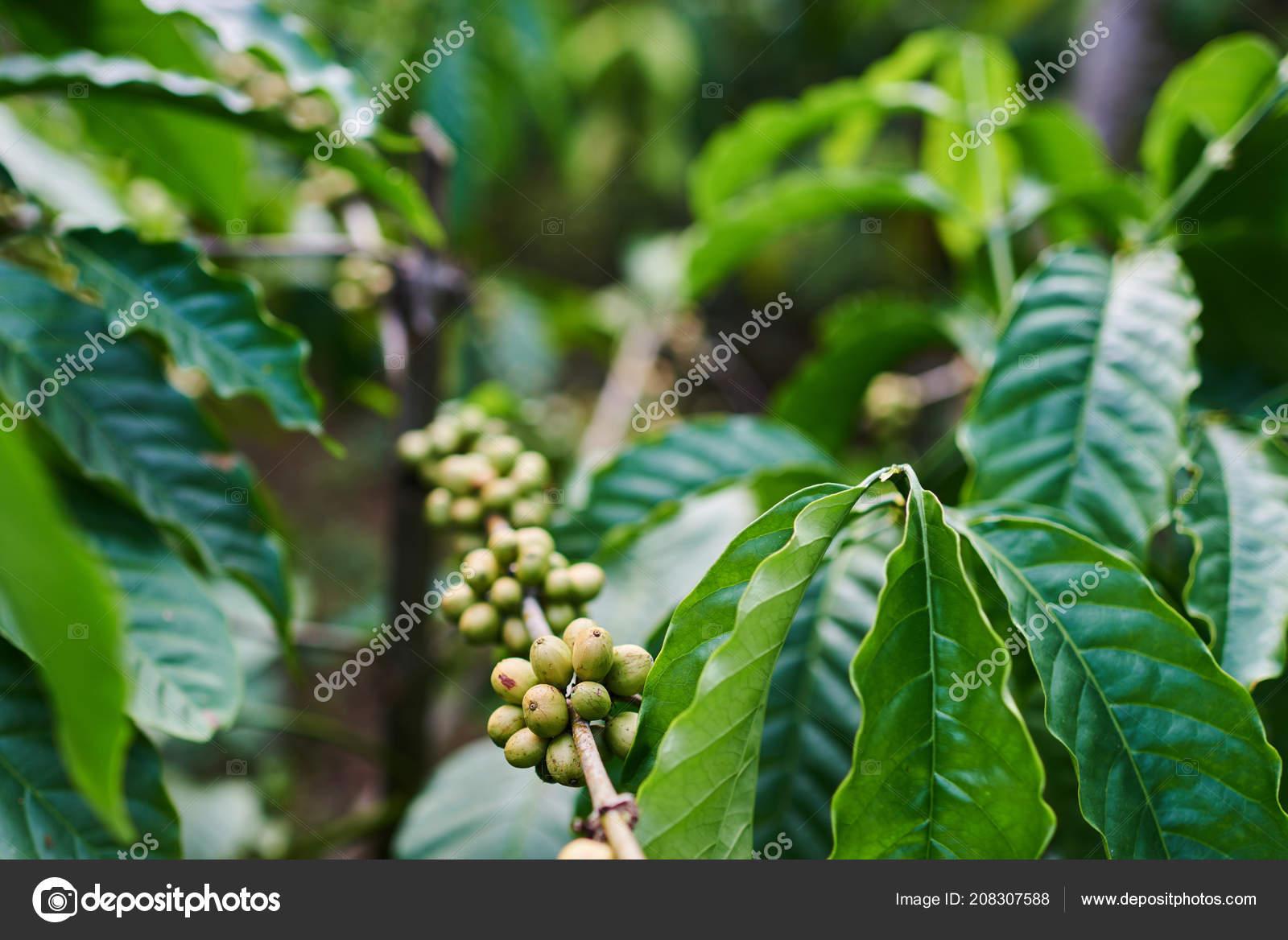 Raw Green Coffee Beans Tree Plantation Plants Leaf Berries Close