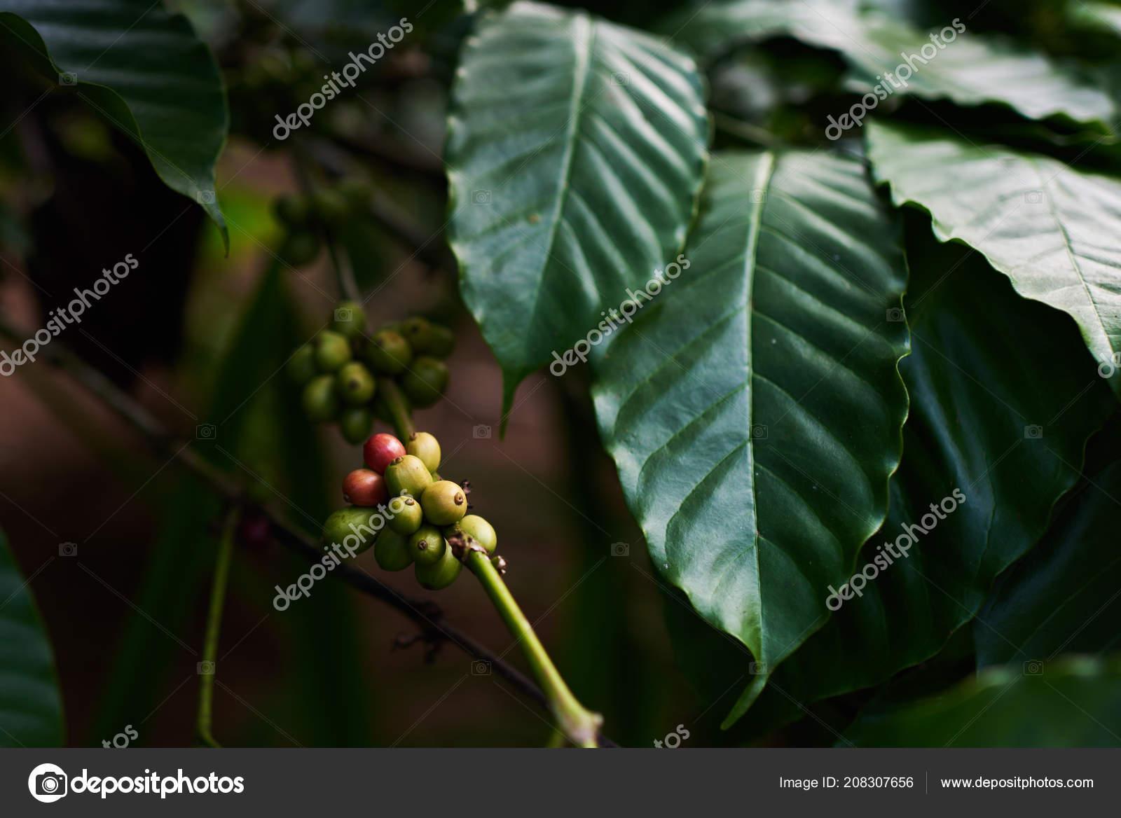 Raw Green Coffee Beans Tree Coffee Plantation Coffee Plants Leaf