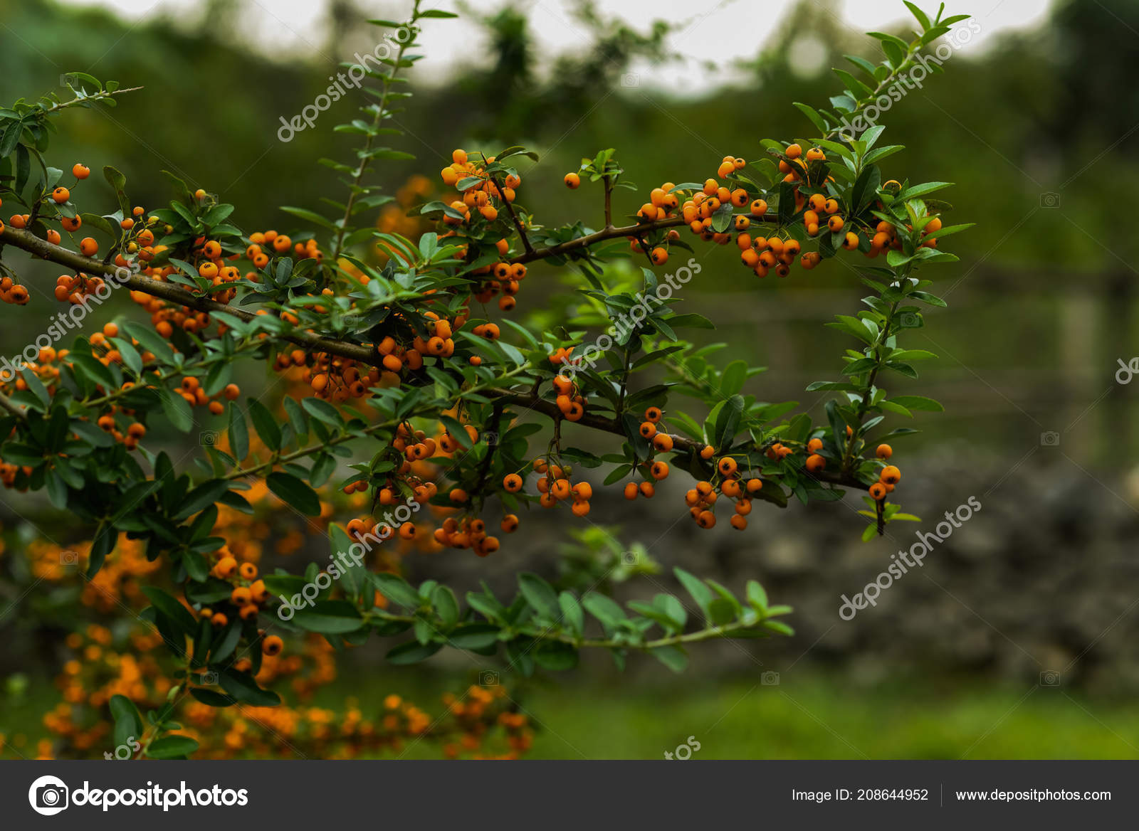 Autumn Berries Leaves Blurred Trees Background Fall Background