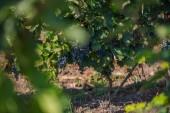 Hrozny visí na vinici. Hroznové wineland krajina. Sezónní malebné pozadí. Řady vinné révy. Podzimní krajina s barevnými vinicemi. Abstraktní pozadí. Přírodní krajina