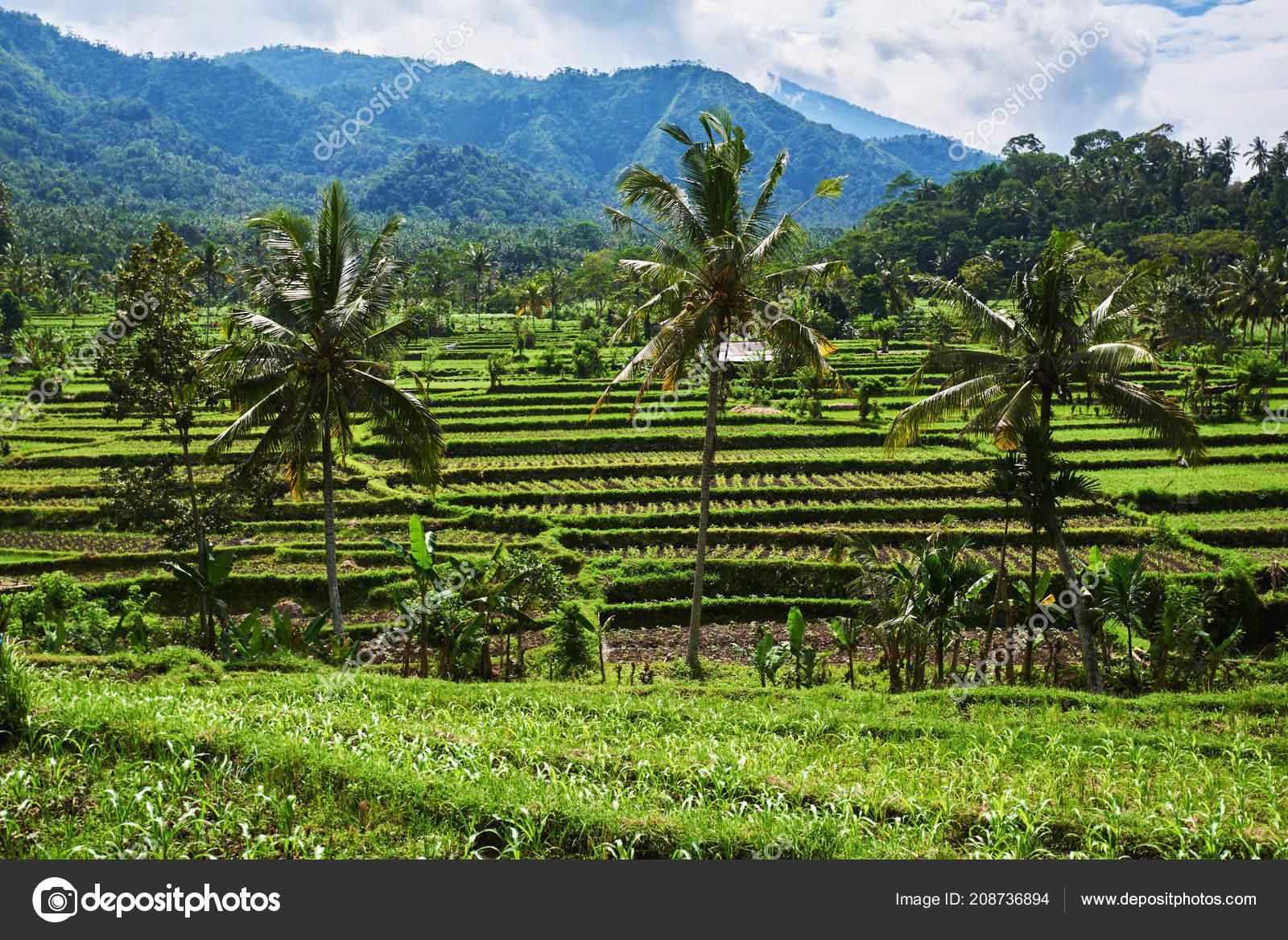 Terrazas Arroz Bali Indonesia Arroz Verde Campos Terrazas