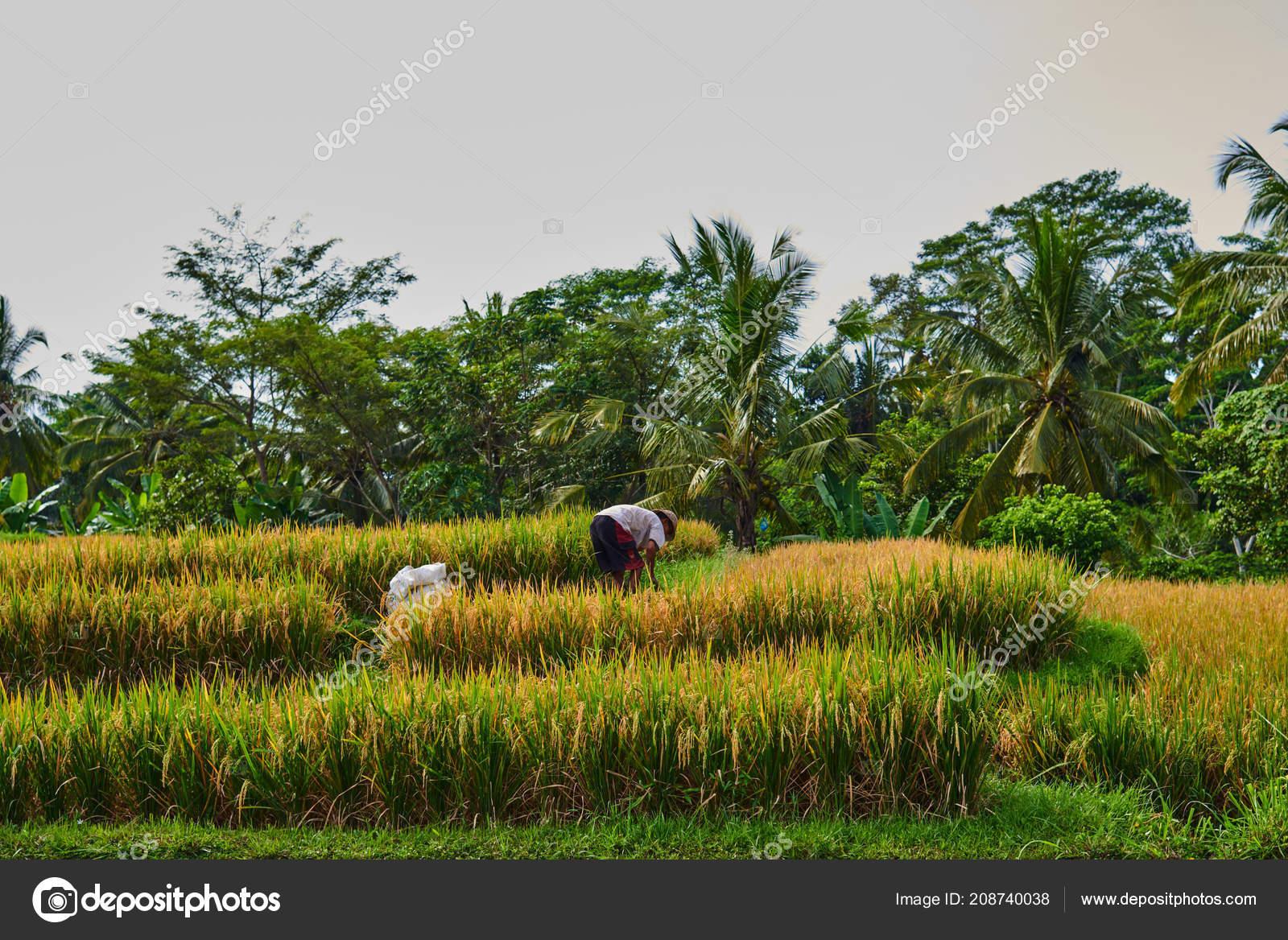 Agricultura Campos Arroz Oro Terraza Naturaleza Del Paisaje