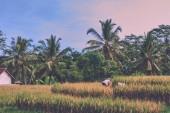 Zemědělství, zlaté rýže pole a terasy. Příroda a krajina. Podzimní sezóna. Čas sklizně. Zemědělci sklidit úrodu tradiční metodou, pomocí SRP. Venkova, v plantáži