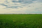 Fotografie ztratíte se žlutá zelená rýžová pole. Podzimní řýže dobré sklizně. Zemědělství. Čas sklizně. Farma, rýžového pole. Zralá úroda. Bujné zlatých polích venkova. Organické potraviny