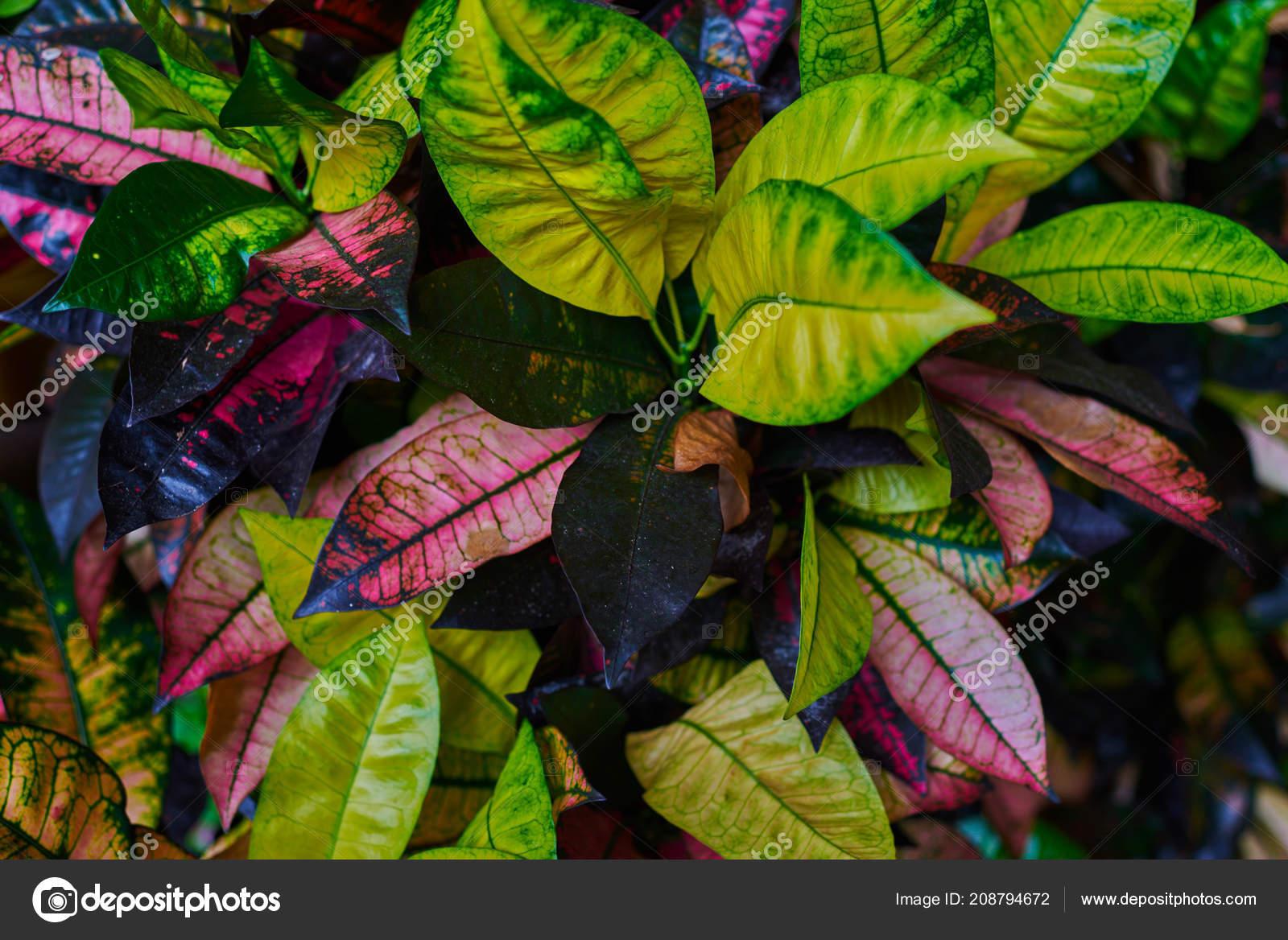 фото цветов кодиеум