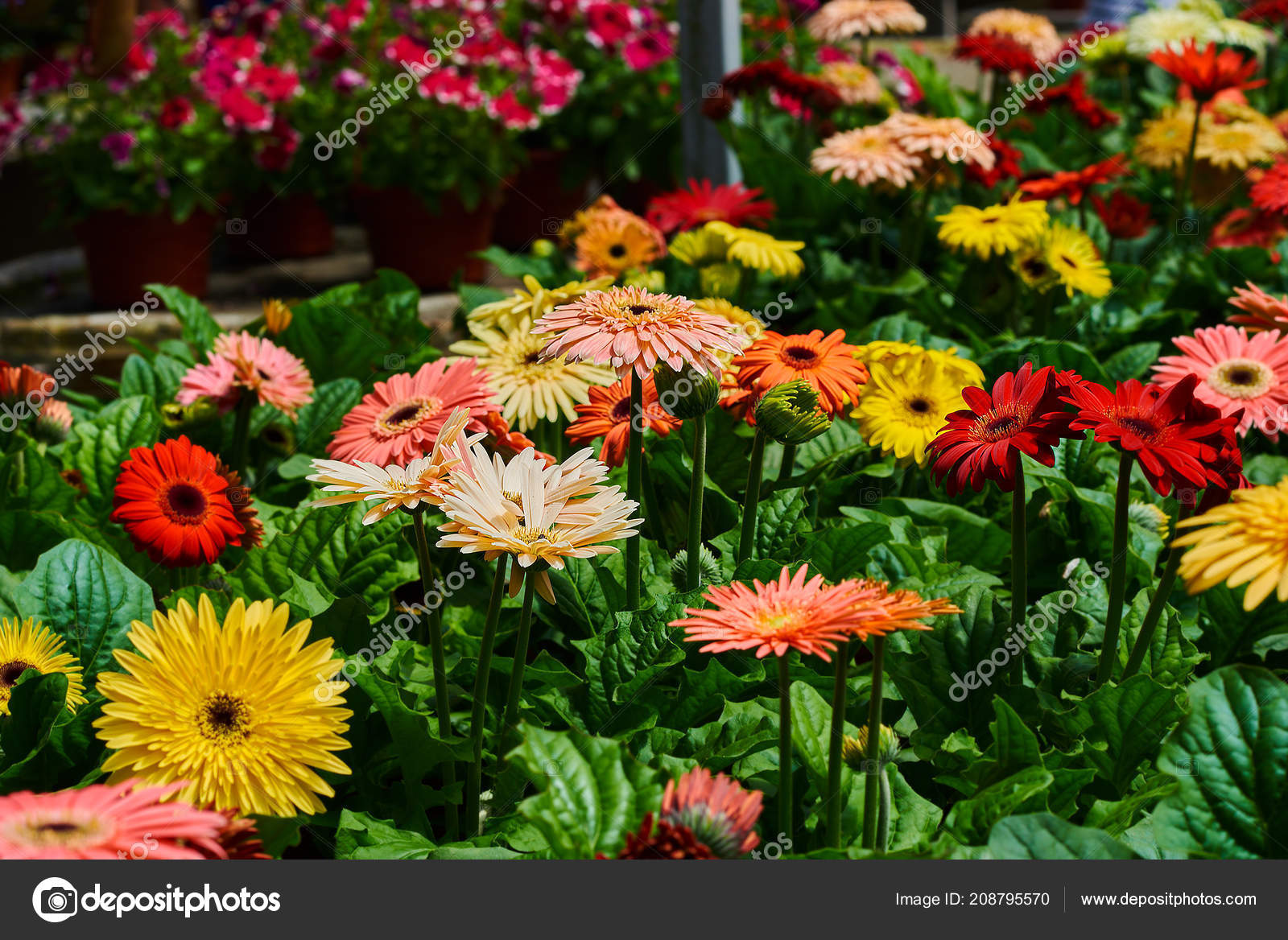 Many Gerbera Daisy Greenhouse Production Cultivation Flowers Gerbera Plantation Gardening Stock Photo C Eskstock Gmail Com 208795570