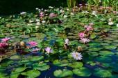 Lotusblüten im Teich. viele Lotusblumen im Teich stehen in voller Blüte. Schöne Lotusblüten werden durch die satten Farben des tiefblauen Wassers und der hellgrünen Blattoberfläche ergänzt. rosa Seerose.