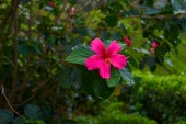 Zářivé květy a poupata červené ibišky-rod kvetoucích rostlin. Keř nebo malý strom. Krásné větve s listy a zářivé květy. Květinové pozadí. Closeup větev v měkké zaostření