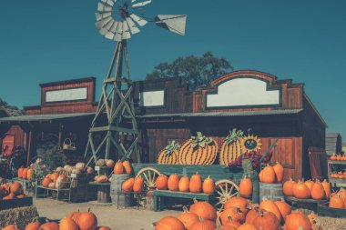 Big orange pumpkins harvest. Pumpkins are available in the fall on the farmer's market or farm shop.