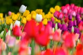 pázsiton, színes tulipán