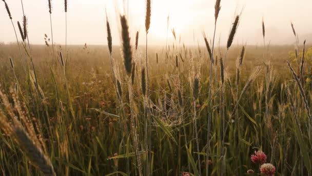 spikelets of wheat in the morning a thick fog.