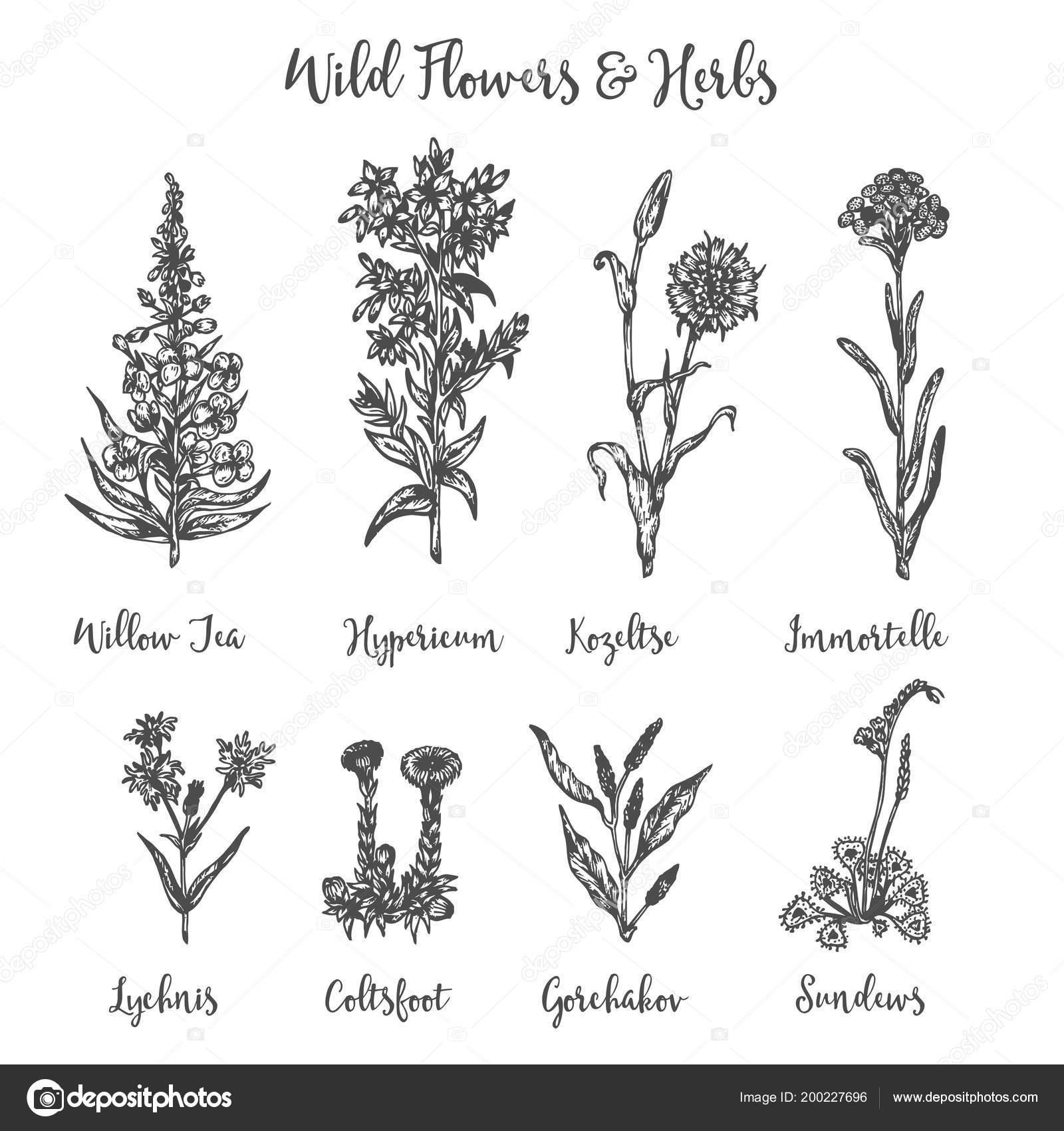 Herbes Et Fleurs Sauvages Ensemble De Dessin Vectoriel Pré