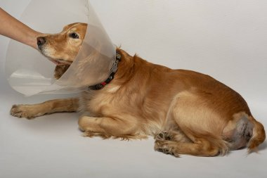 surgery to remove hernias in dogs, spaniels after surgery