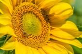 Fotografie Yellow sunflower growing on summer field