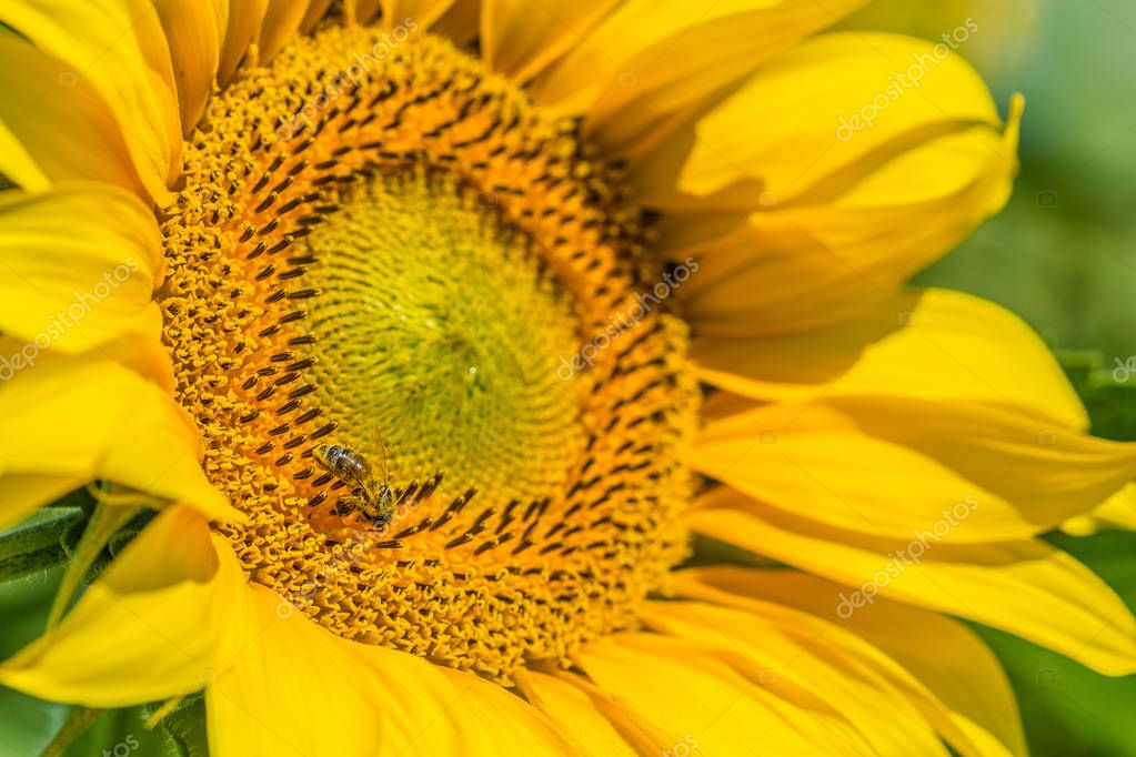 Yellow sunflower growing on summer field