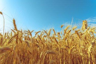 Golden Wheat Field, nature background