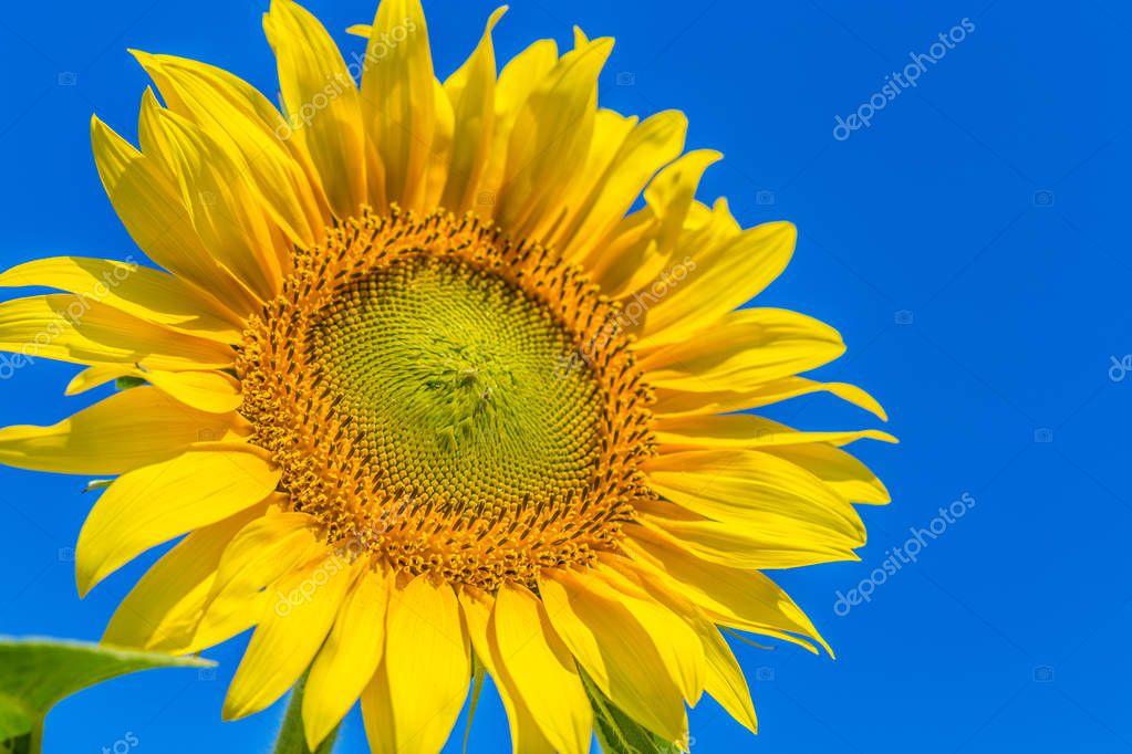 Yellow  sunflower on field. Flora