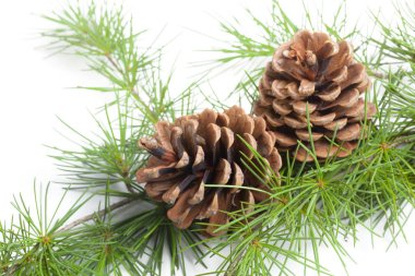 Pine cones on a white background, close up