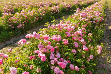 beautiful Field of roses on background