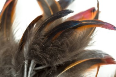 close up of bird feathers isolated on white background
