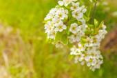 Třešňové květy rozmazané přírodní pozadí