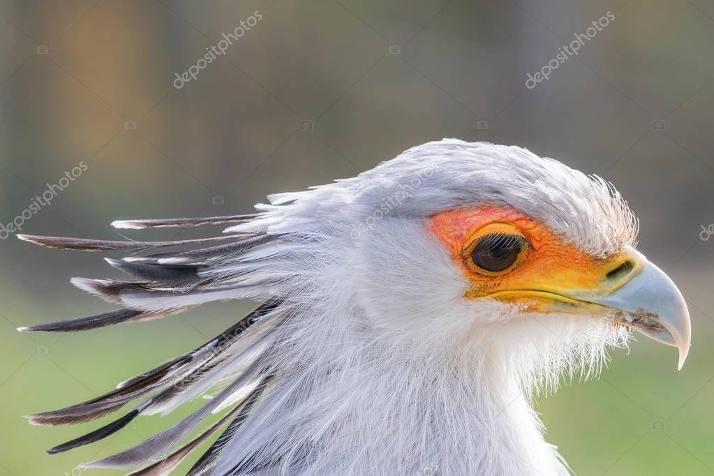 Secretarybird Close up portrait, African bird of prey (Sagittarius serpentarius)