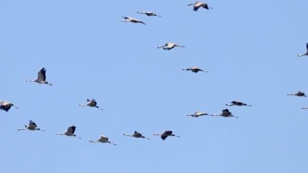 Letící hejno Jeřáb popelavý (Grus grus) letu modré obloze, migrace