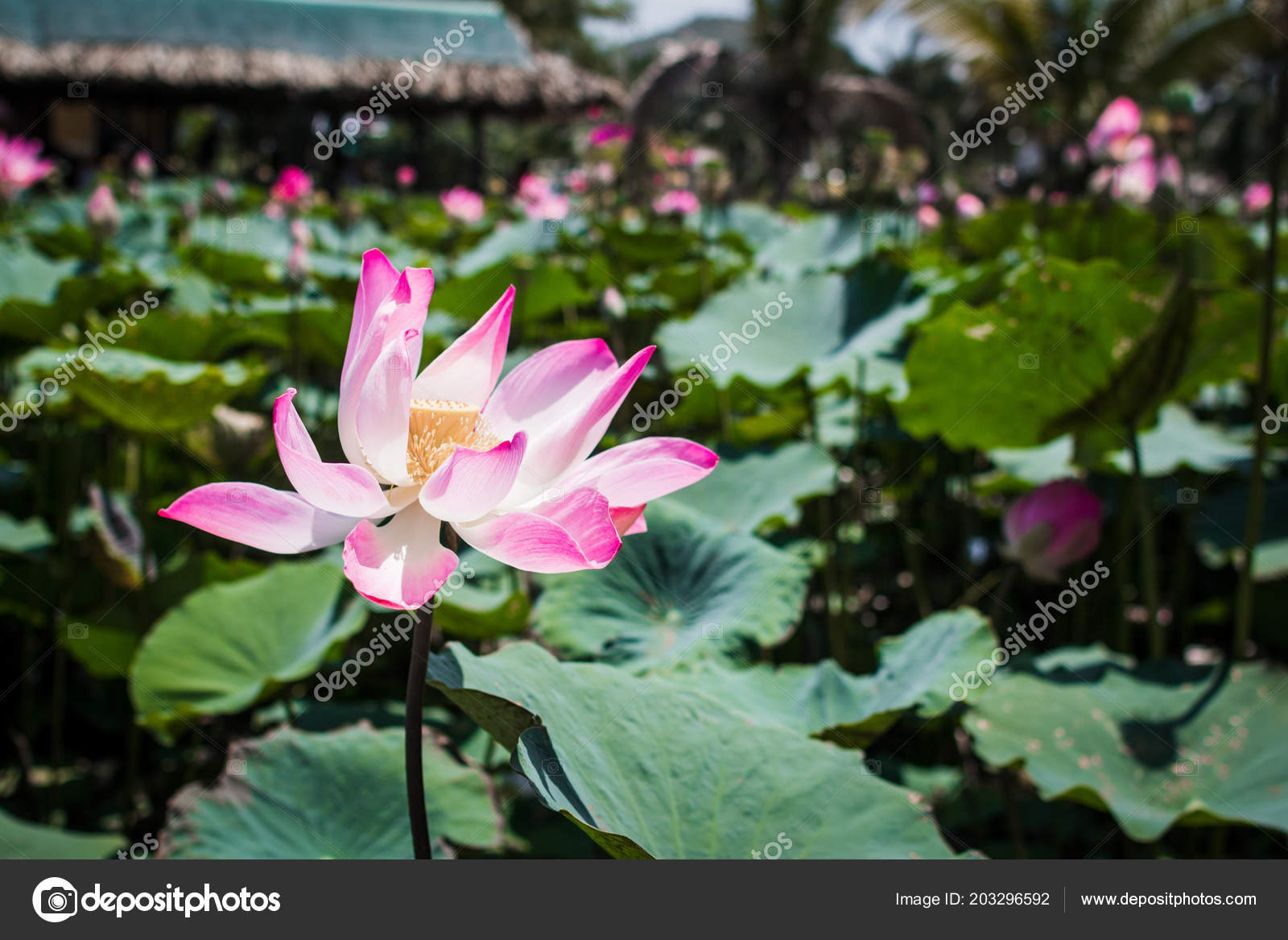 This beautiful waterlily or lotus flower is complimented by the rich ...