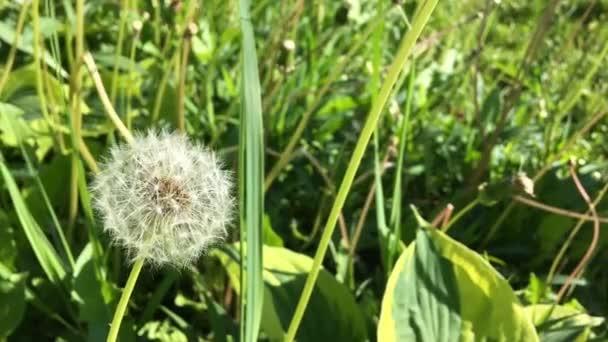 Taraxacum pampelišky - Pappos - odletět s větrem.