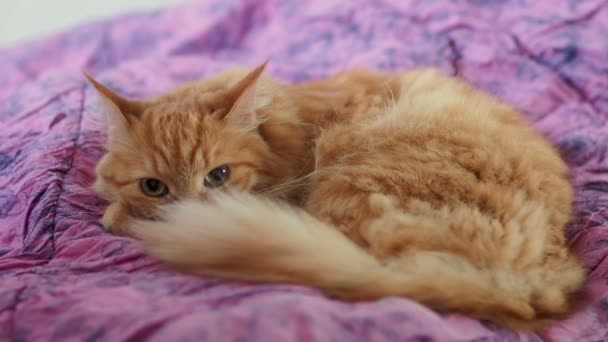 Cute ginger cat lying on violet blanket. Fluffy pet stares suspiciously. Cozy home background.