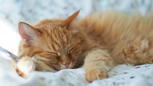Aranyos gyömbér macska alszik az ágyban. Bolyhos kisállat szunyókált, majd hirtelen felébred. Hangulatos otthoni háttér, reggel lefekvés előtt.