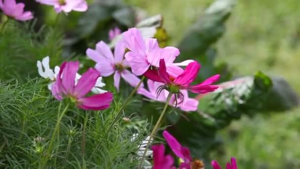 Letní přírodní pozadí s kvetoucí květiny Kosmos
