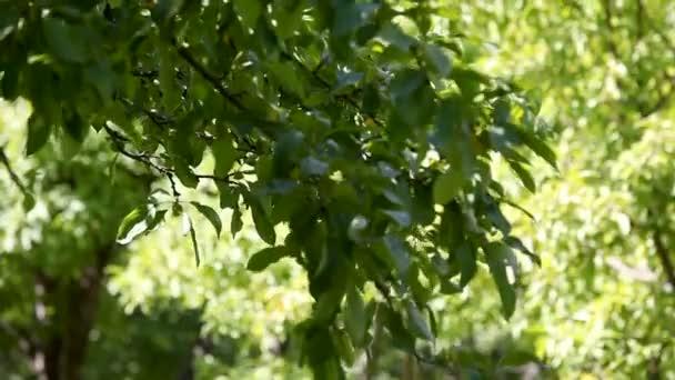 Nyári természetes háttér a leveles zöld fa.