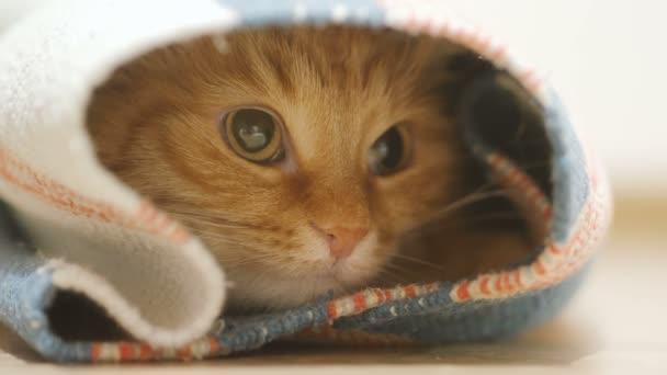 Süße Ingwer Katze drinnen sitzen oben Teppich gerollt. Flauschige Tier sieht mit Neugier
