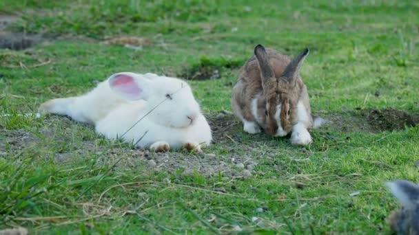 Hasenpaar Fuffy auf Rasen liegen. Hase frisst Grasgrün