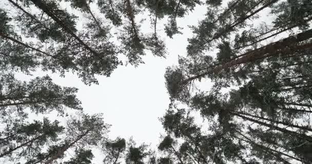 Alulról fenyőfák behavazott téli erdőben. Lövés a spinning körül.
