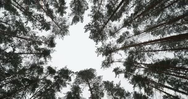 Spodní pohled borovic v zasněžené zimní les. Střelba v pohybu.