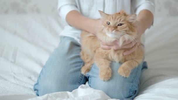 Žena hladí roztomilé kočičí. Nadýchané domácí zvíře ležící na kolenou. Roztomilý útulné zázemí, ráno před spaním doma.