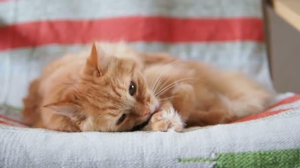 Aranyos gyömbér macska fekvő székre. Bolyhos kisállat nyalás a szőr, a csíkos szövet. Hangulatos otthoni.