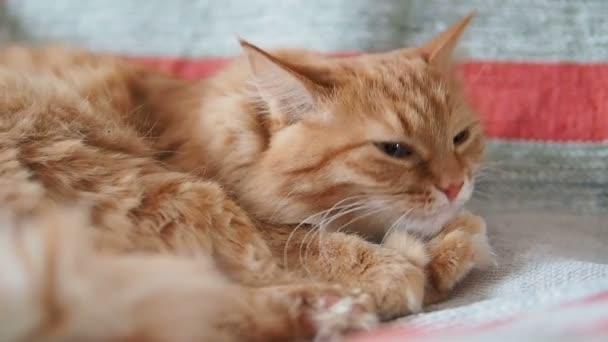 Aranyos gyömbér macska fekvő székre. Bolyhos kisállat nyalás a szőr, a csíkos szövet. Hangulatos otthoni. Lassú mozgás.