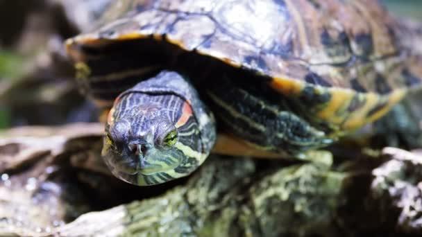 Közönséges ékszerteknős, Trachemys scripta, közös közepes méretű, félig vízi teknős. Teknősök vörös fülű.