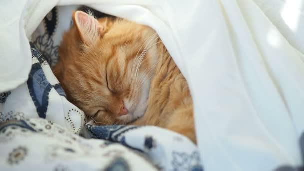 Roztomilý zázvor kočka spí v posteli. Nadýchané pet podřimoval pod dekou. Příjemné domácí zázemí, ráno před spaním.