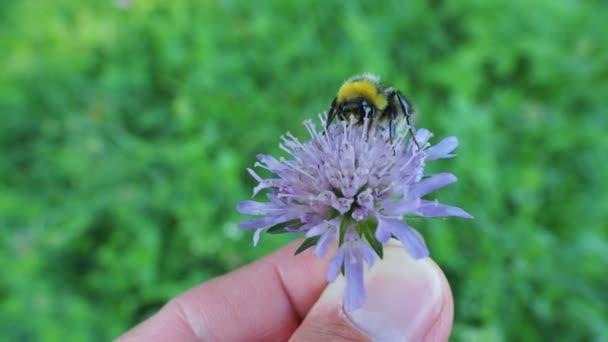 Muž, který držel fialový květ s čmeláka. Přírodní pozadí s hmyz sběr pylu.